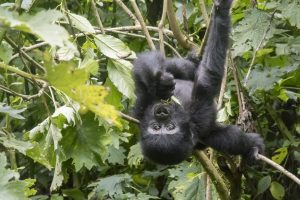 Baby gorilla handing upside down on branch in tree of Bwindi Impenetrable Forest National Park Uganda Africa.